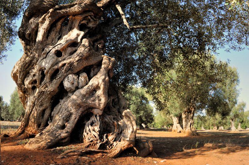 Ulivi e querce secolari nel salento un itinerario for Alberi in vendita